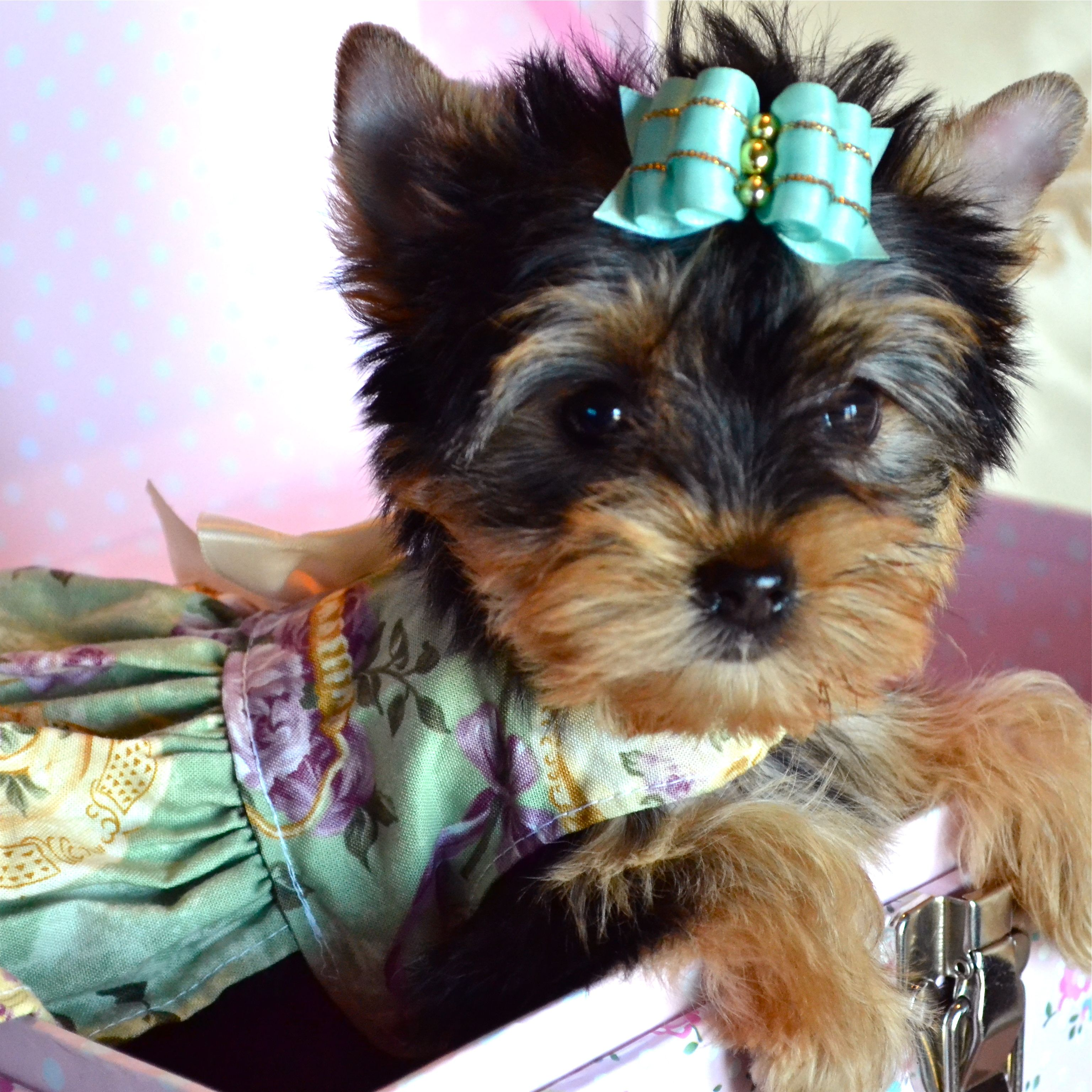 Beautiful Akc Yorkie Female Puppy Puppies And Dogs For Sale Pets Classified Ad Oregonlive Com Yorkie Dogs For Sale Puppies