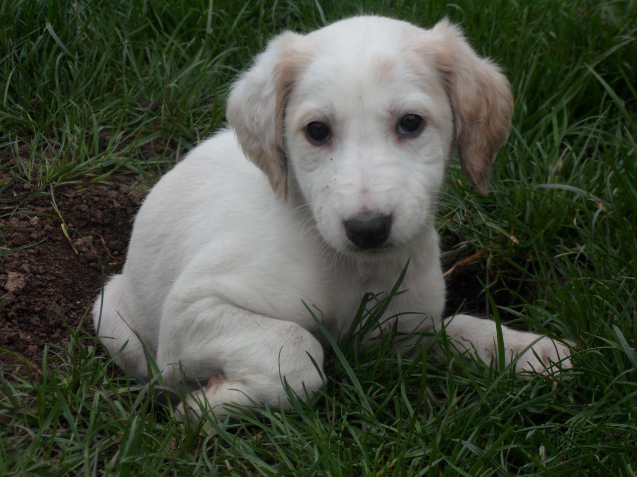 Saluki Greyhound X Saluki Puppies