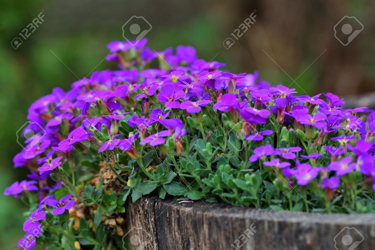 Small Purple Flowers In A Fresh Tree Stump In The Garden And