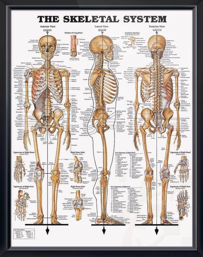 The Skeletal System Chart 20x26 | ANATOMY | Pinterest | Anatomy ...