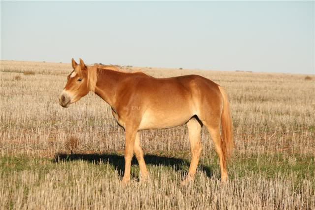 Pangare horse | Horses, Chestnut horse, Different horse breeds