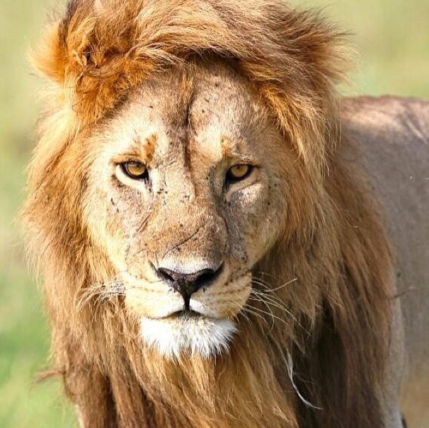 lion face Google Search Lion pictures, Wild lion, Lion