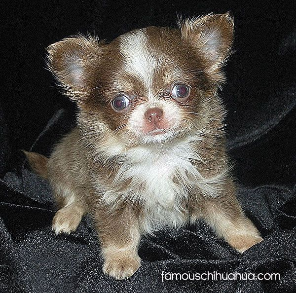 Meet Kitty Boo A Seriously Cute Long Hair Chihuahua Puppy From The Uk Chihuahua Chihuahua Puppies Teacup Chihuahua Puppies