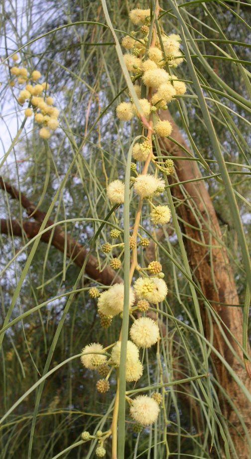 Acacia Stenophylla Shoestring Acacia Zone 8b Arizona Gardening