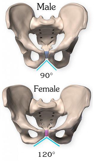 Anatomy of the Pelvis | Cuerpo humano anatomia, Anatomía y