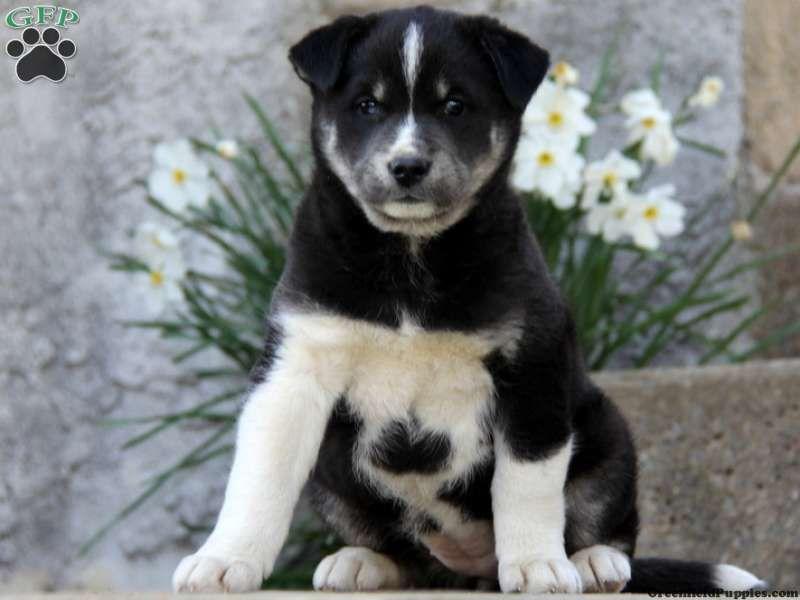 Siberian Husky Black Lab Mix Love Dogs Puppies Lab Mix Puppies