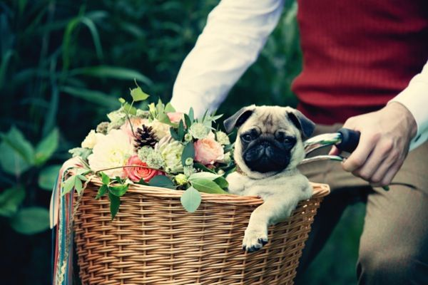 Cute pets at weddings. This pug knows how to travel in style #wedding #pet