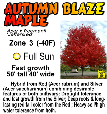 Autumn Blaze Maple.  Speedy growth rate of a silver maple, deep roots and fall color of red maple.