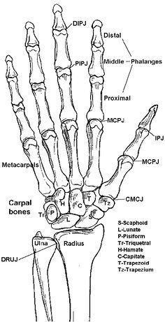 hand bones   skeleton  anatomy