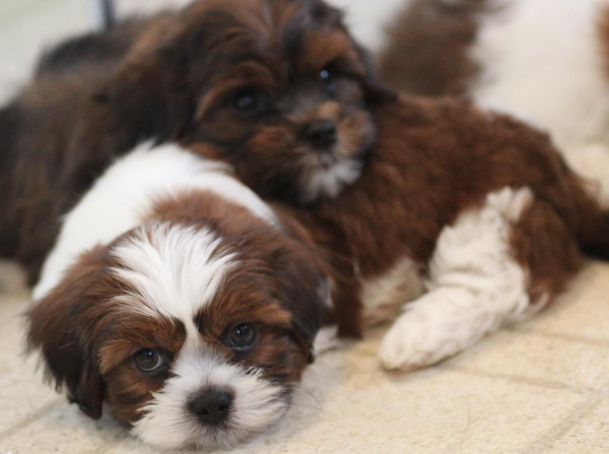 Shichon Puppies, Calgary, Canada Shichon puppies