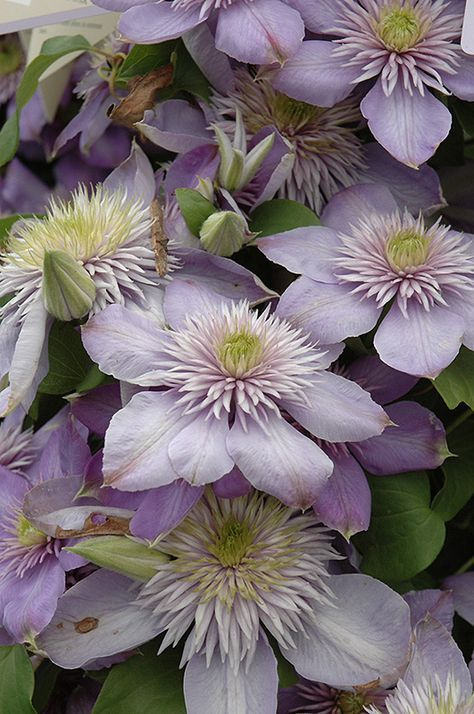 Blue Light Clematis Clematis Blue Light At Tlc Garden Centers Climbing Flowers Clematis Clematis Flower