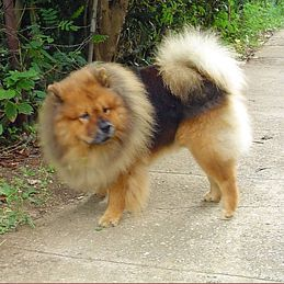 Black And Tan Chow Chow Dogs Of The World Dogs Dog Lovers