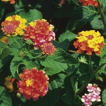 Lantana Plant Miss Huff At Suttons Seeds Lantana Plant Sutton Seeds Lantana