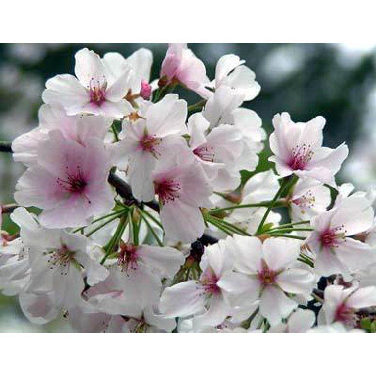 Yoshino Cherry Tree Walmart Com In 2021 Yoshino Cherry Tree Cherry Blossom Festival Yoshino Cherry