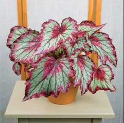 Rex Begonia Ring Of Fire Flower Seeds Rare Flowers Blooming Plants