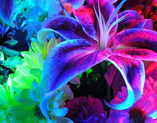 Rainbow Lily Rainbow Colors Lily Flowers Purple Art Photography