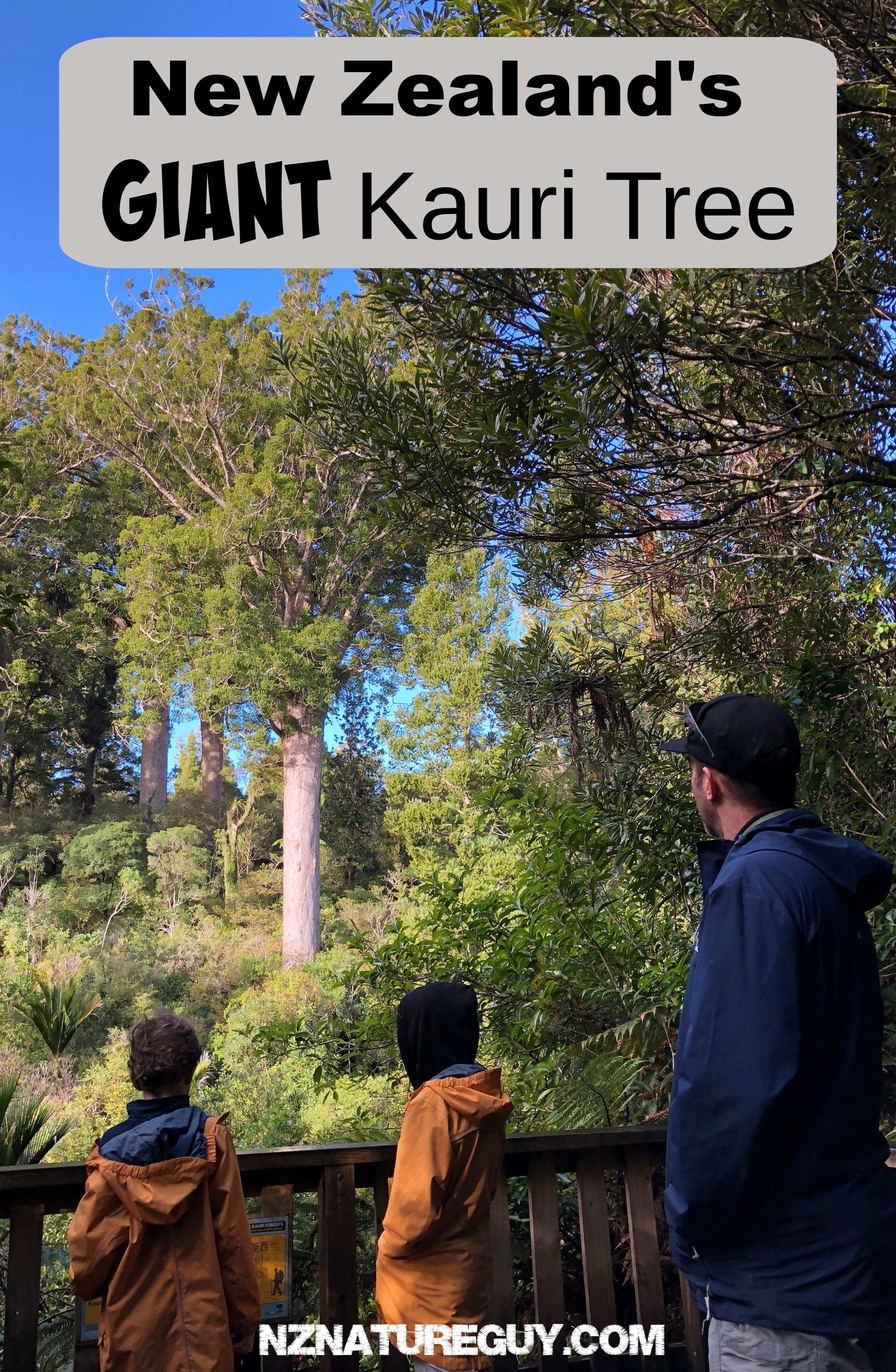 The tōtara (podocarpus totara) is symbolic of a great chief. These Kauri Trees Are Huge Old Amazing Trees I Can T Believe They Re Some Of The Biggest In The World Bigtrees Giantk Kauri Tree Giant Tree New Zealand