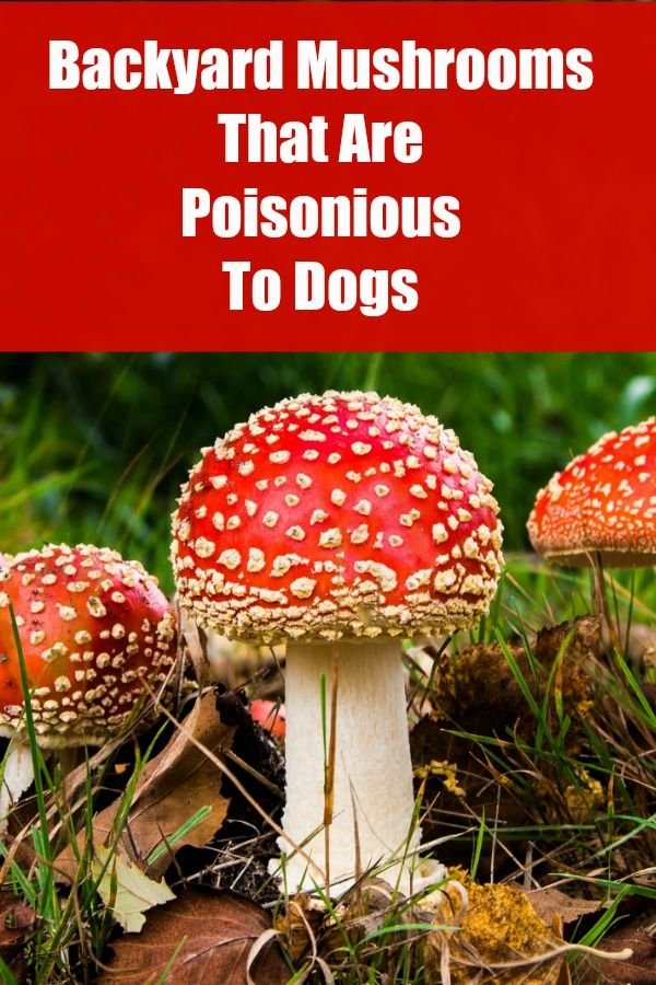 Backyard Mushrooms Dogs backyard mushrooms that can be poisonious to dogs | ' tips and