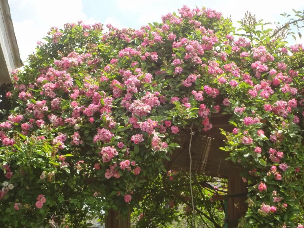 Pruning Question For Vigorous Rambler Climbing Roses Prune This Or That Questions