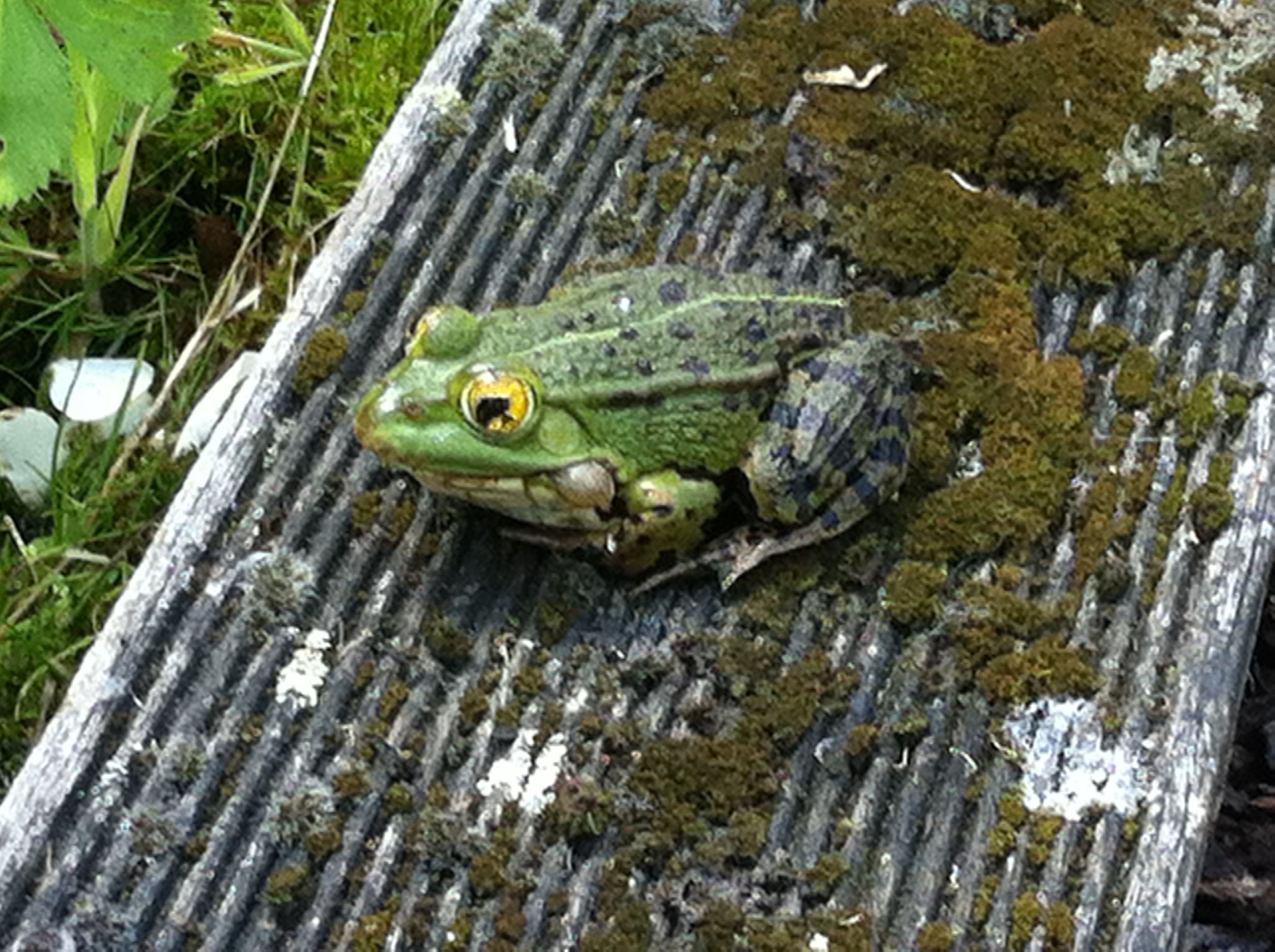 One of my frogs sunbathing next to the pond