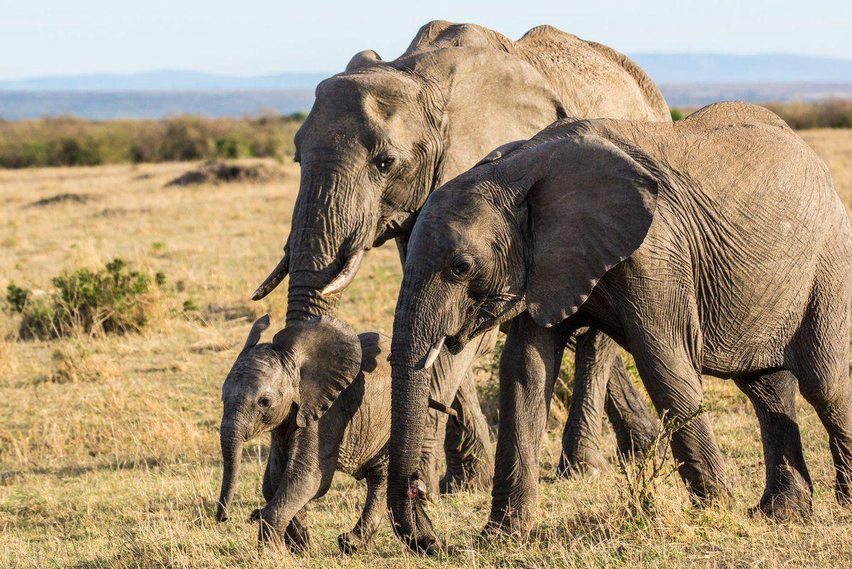 Safari News@worldsafarinews     Little Elephant leading