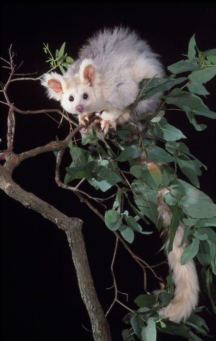36 Awesome Possums And Opossums Unusual Animals Weird Animals Australia Animals