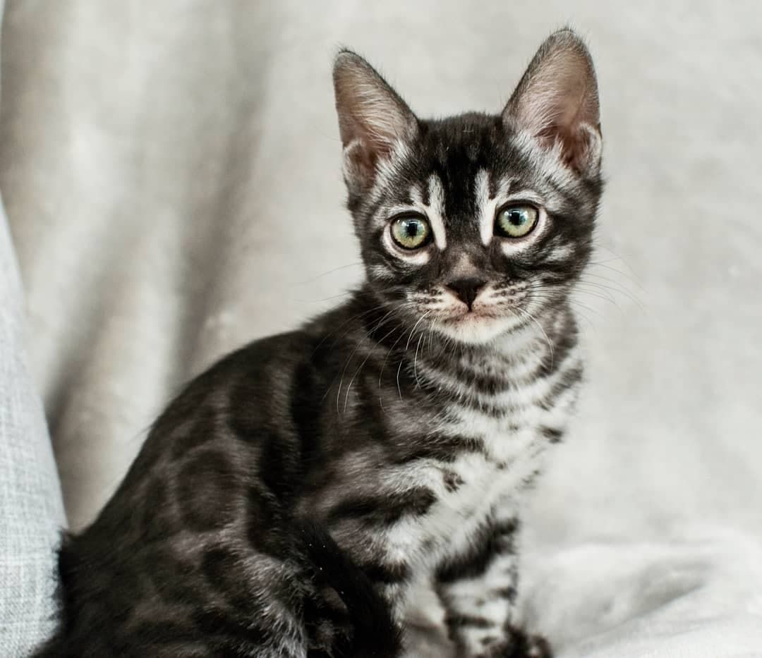 Pretty Silver Charcoal Bengal Kitten Just Before Leaving For His