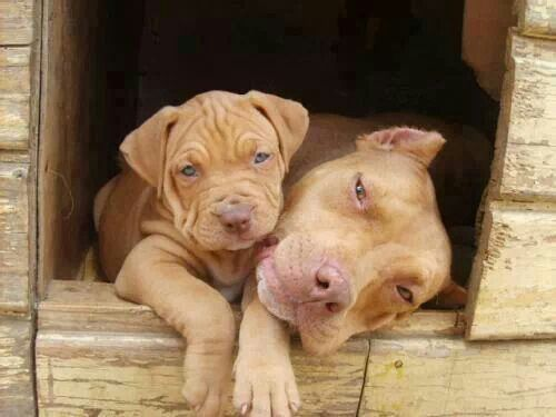 Mama Son Red Nose Beauties Look At Those Wrinkles Pitbulls