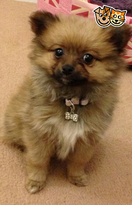5 Month Old Female Pom Fluffy Ball Of Joy Wolverhampton West Midlands Pets4homes 5 Month Olds Cute Puppies Pom Pom