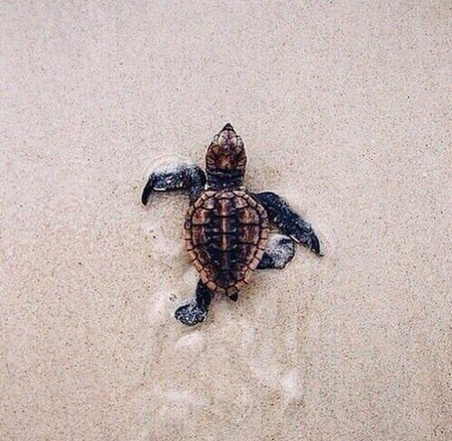 turtle, animal, and beach resmi Sea turtle facts, Baby