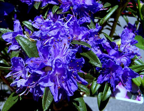 Rhododendron Wow I Love The Blue Azalea Flower Rhododendron Tree Seeds