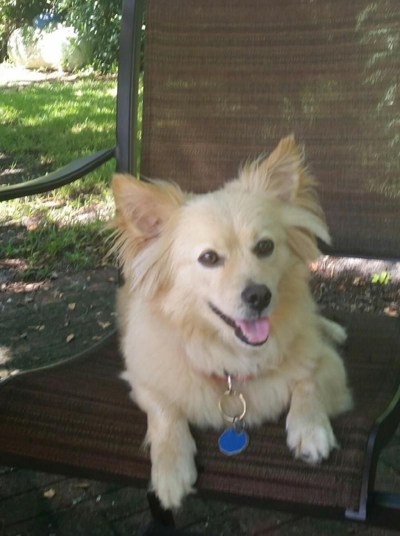 Adopt Tanner On Petfinder Pomeranian Dog Paws Rescue Mixed Breed