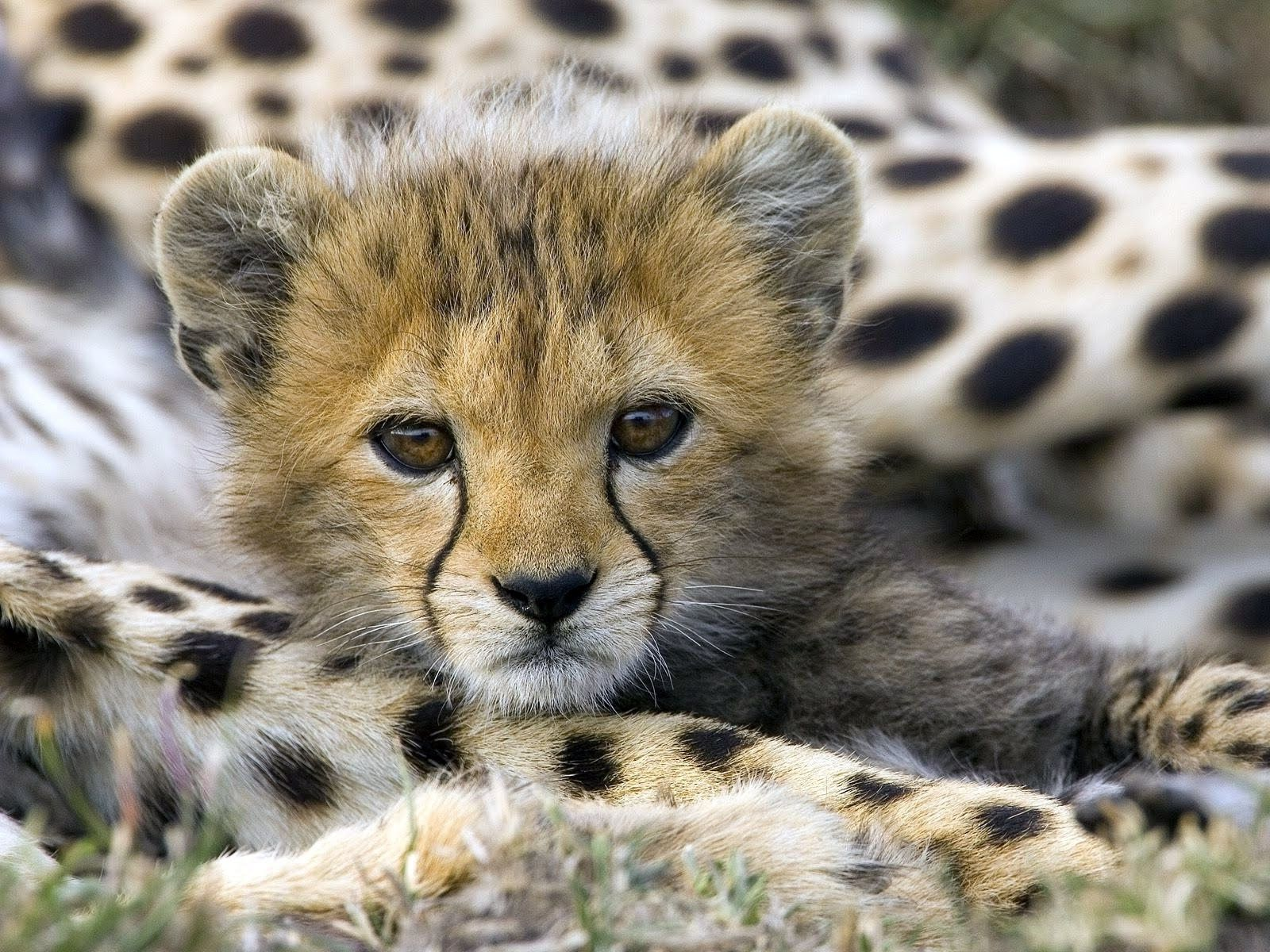 Cheetah Wallpapers Hd Wallpaper Baby Animals Pictures Cute Baby Animals Animals
