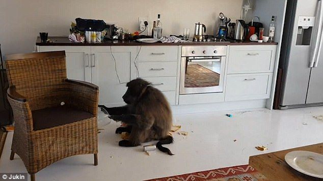 Man returns to find BABOONS have trashed Airbnb apartment
