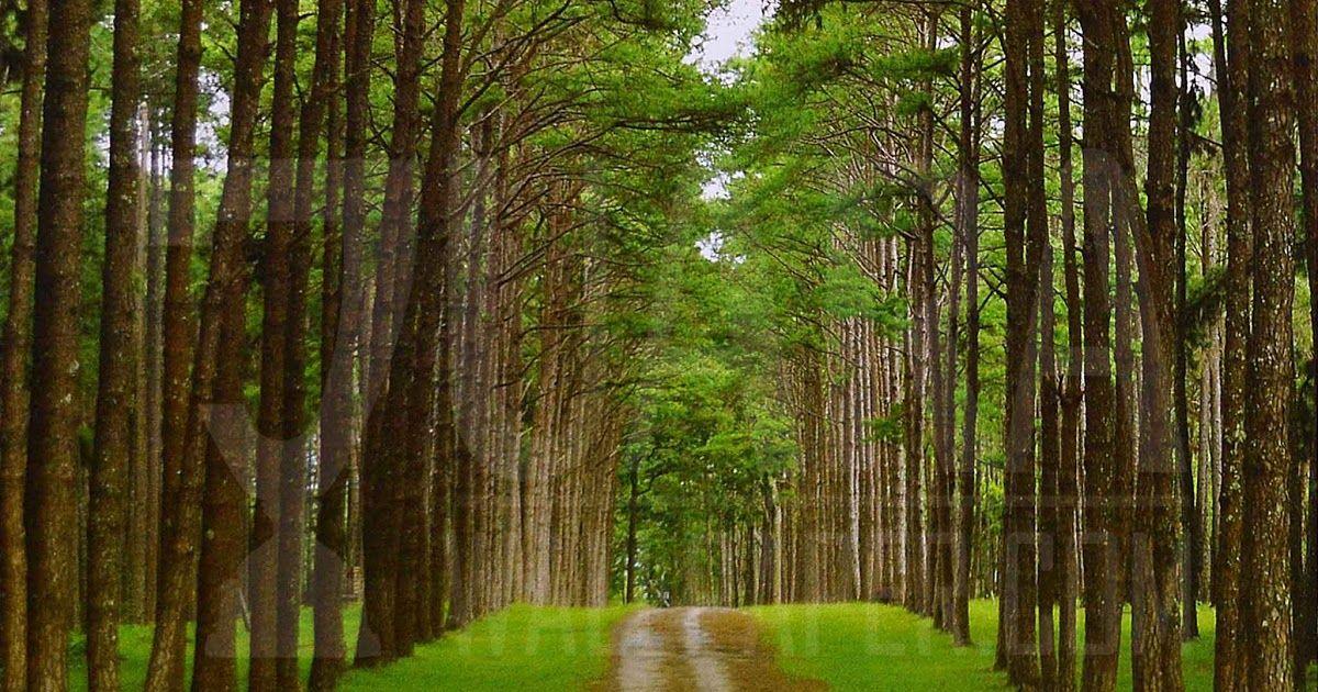 Gambar Wallpaper Hutan Pinus Jual Produk Wallpaper Murah Pohon Pinus Murah Dan Terlengkap Bukalapak Gambar Gratis Alam Pohon Pinus K Di 2020 Pemandangan Gambar Hutan