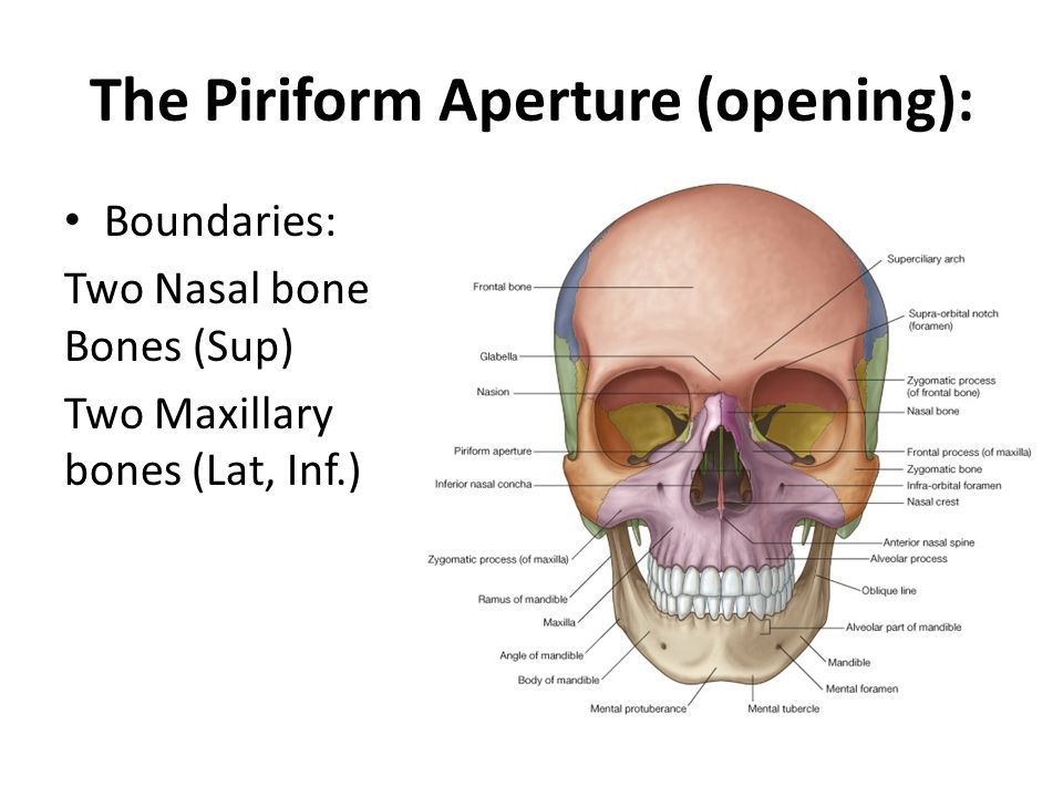 piriform aperture에 대한 이미지 검색결과 | Head and Neck anatomy ...