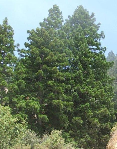 young coastal redwood | Young Coast Redwood, Sequoia sempervirens along the Big Sur Coast ...