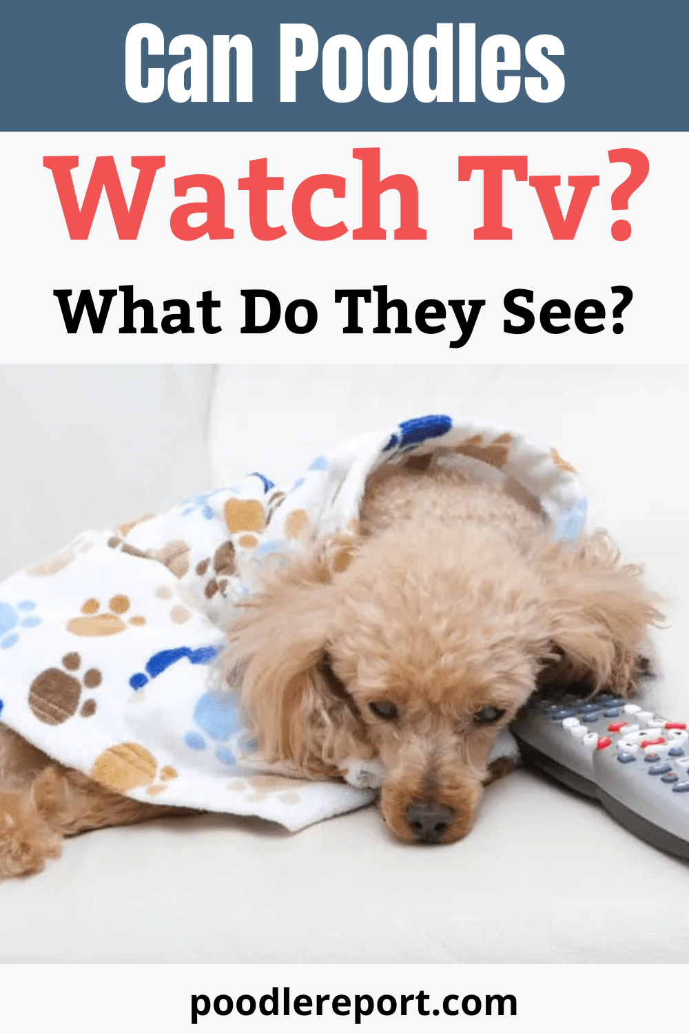 If you are a dog owner, you probably notice all sorts of quirky things that your dog has done. It really can be amazing how closely dogs can resemble humans in their behavior. One of these behaviors involves dogs, such as poodles, watching TV. #poodle #poodlepuppy #cutedog #cutepuppy