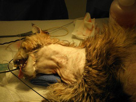 This simple procedure ensures adequate nutrition for postsurgical feline veterinary patients—which can speed recovery time and minimize hospitalization.