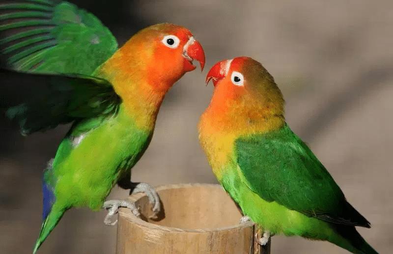 Mengetahui Cara Mempercepat Lovebird Kawin Dan Bertelur Jalak Burung Betina