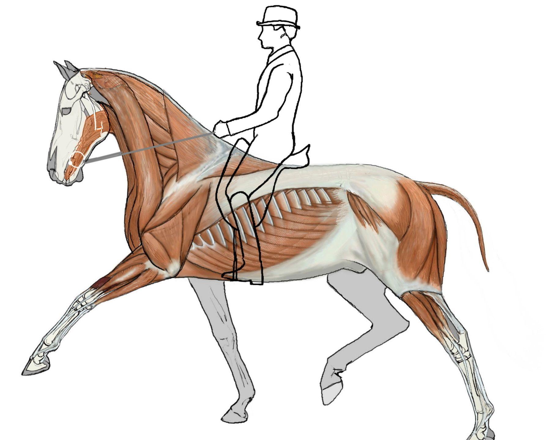biomechanics-illustration_GH.jpg | Artistic Anatomy- Equine ...