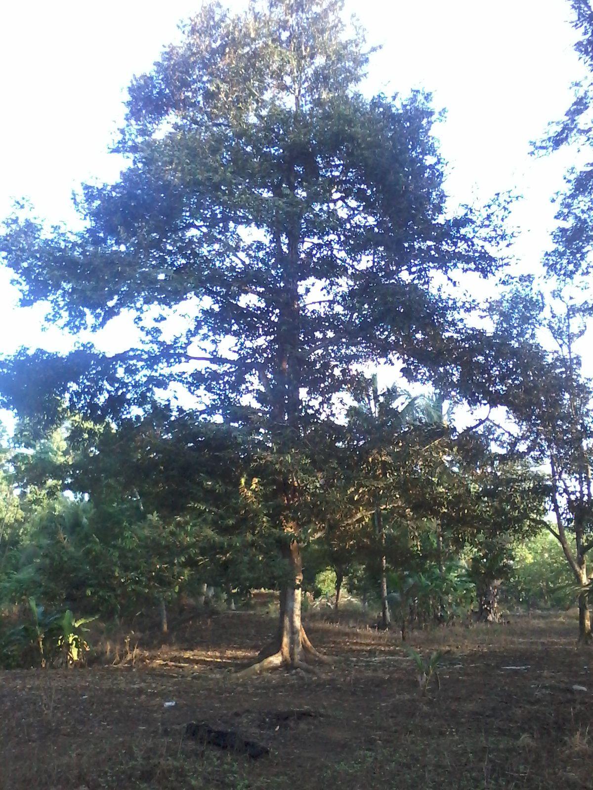 ini pohon duren yang ada di kebun milik cici nya bokap gue.. kalau duren nya lagi jatuh, kami makan duren gratis dehh.. mantabb..