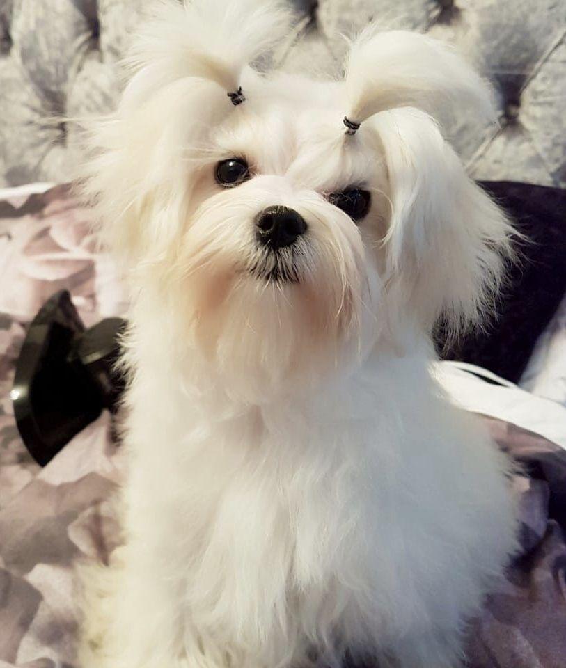 Maltese Puppies For Sale In Yukon Canada