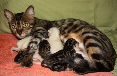 Mommy Bengal With Snow And Brown Bengal Kittens Bengal Kittens Snow Bengal Kittens Bengal Kitten Bengal Cat For Sale Bengal Cat