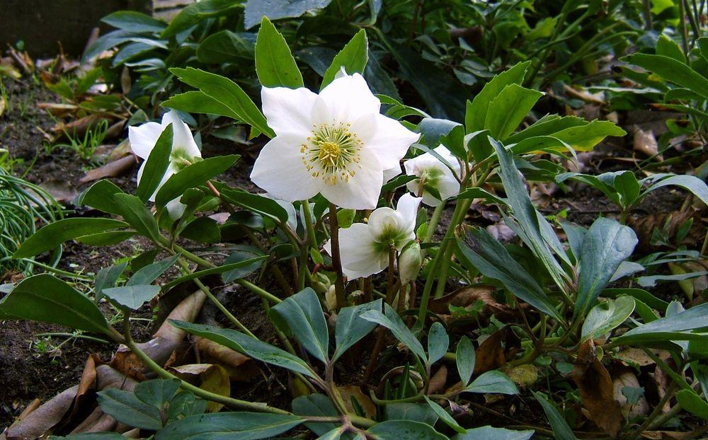 3 Helleborus niger Evergreen xmas rose Winter flowering Perennial Shade plants