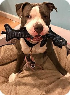 American Bulldog American Staffordshire Terrier Mix Dog For Adoption In West Berlin New Jersey Ella American Bulldog Bulldog Terrier Mix Dogs