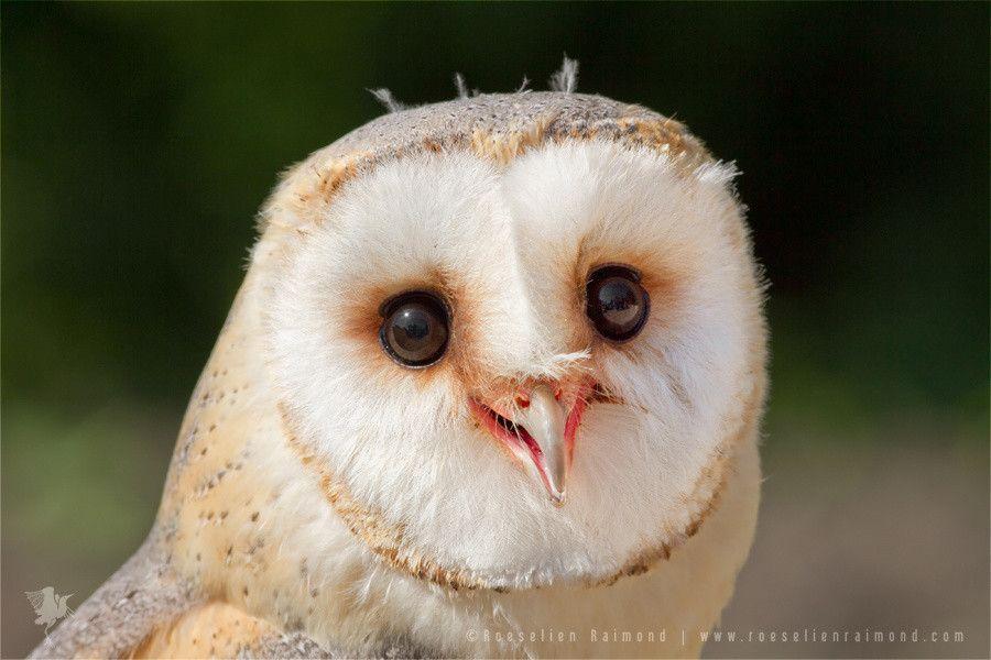 Happy owl by Roeselien Raimond