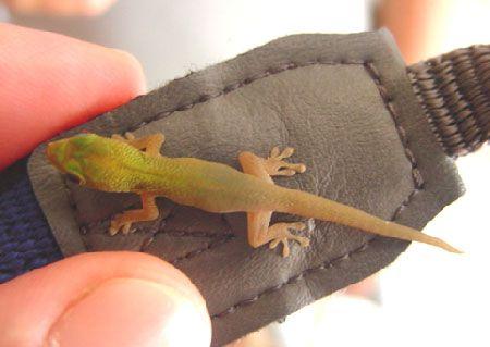 Un gecko de Mayotte