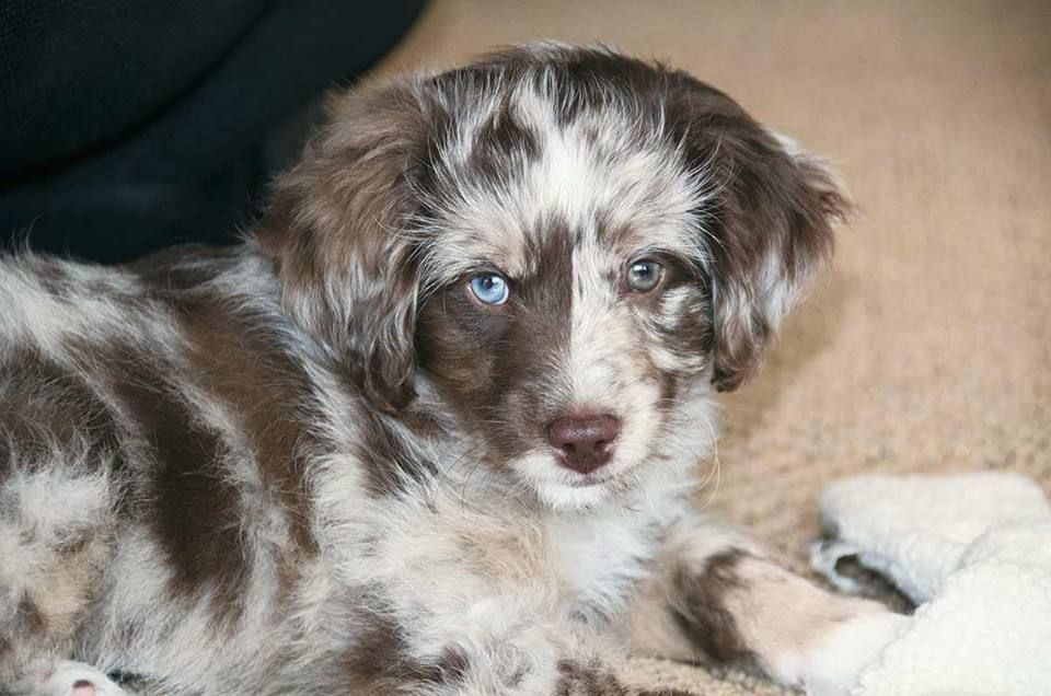 About Aussiedoodles Aussiedoodle Puppies For Sale Aussiedoodle