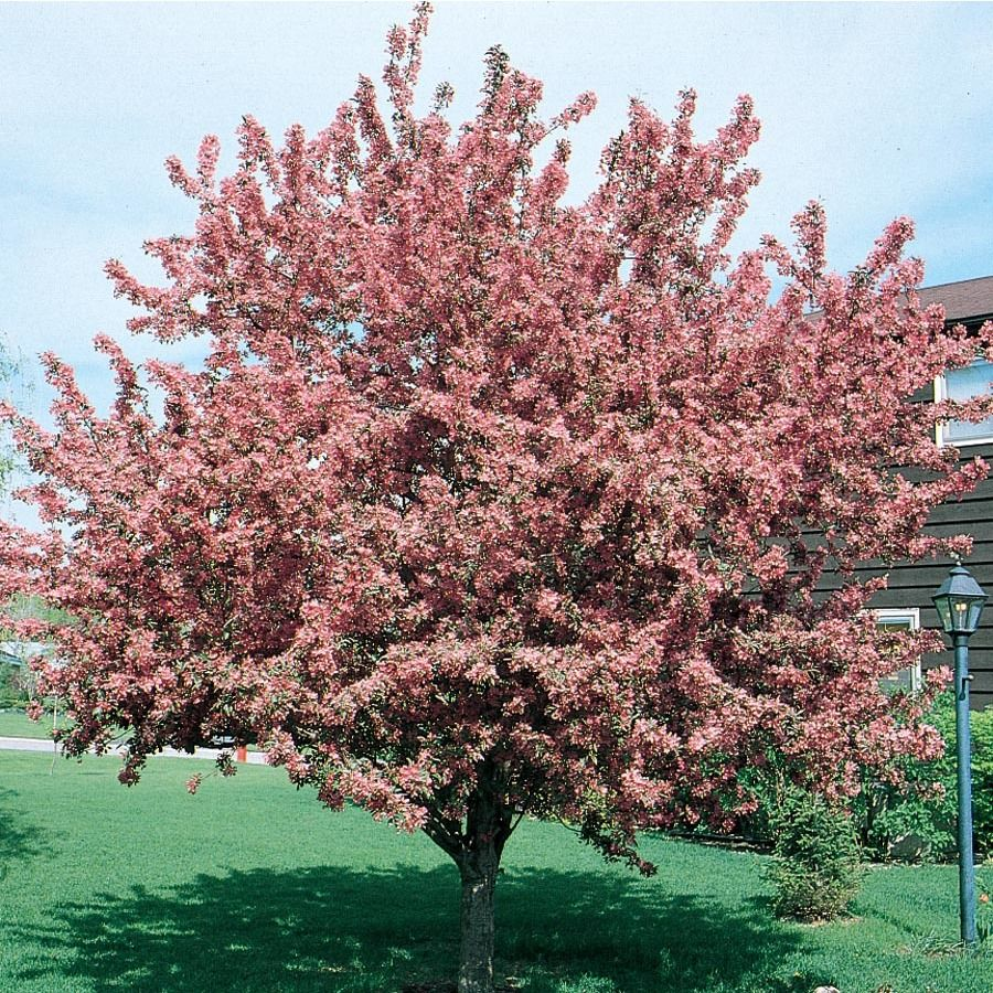 12 7 Gallon Red Crabappledian Magic Flowering Tree In Pot L1083 Lowes Com Potted Trees Flowering Trees Shade Trees